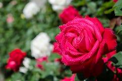 Rose su un cespuglio Fotografia Stock Libera da Diritti