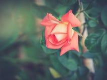 Rose su un cespuglio in un giardino Fotografie Stock Libere da Diritti