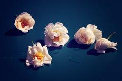 Rose sul blu Fotografia Stock