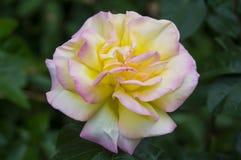 Rose Summer Flower rosada amarilla Imagen de archivo