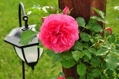 Rose  summer  garden Royalty Free Stock Photography