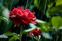 Rose & The Summer Rain. Just another summer rain in the garden Stock Photo