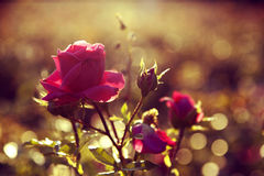 Rose in the Sun. This beautiful rose dancing in the sun Royalty Free Stock Image