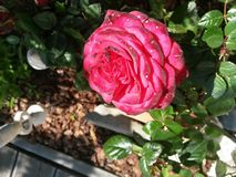Rose. In the sun light Royalty Free Stock Photography