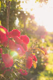Rose in the sunlight Stock Photography