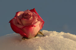 Rose at sunset royalty free stock photography