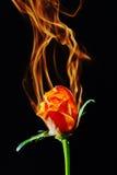 Rose sur l'incendie Images libres de droits