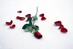Rose sur la neige Images stock