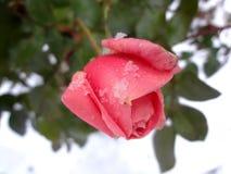 Rose sur la neige de а (¾ Ð de рз¼ DU ¾ Ð DU ³ Ð DU ½ Ð?Ð DU  Ð DE Ð Ñ DE ¾ DU ¿ Ð DE а Ð) Photo stock