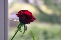 Rose sur la photo de fenêtre Photo libre de droits