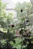 Rose sur la photo de fenêtre Images stock
