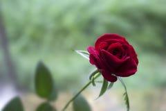 Rose sur la photo de fenêtre Image libre de droits