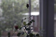 Rose sur la photo de fenêtre Photos stock