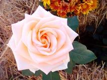 Rose sur la pile Image libre de droits
