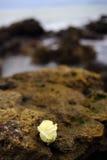 Rose sur la roche Photographie stock libre de droits