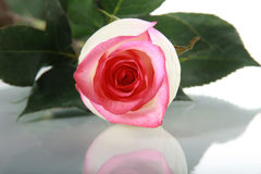 Rose sur la table de miroir Image stock