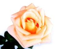Rose sur le blanc. Photographie stock