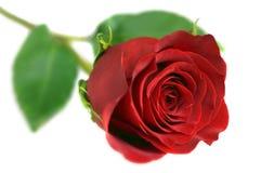 Rose sur le blanc Image stock