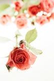 Rose sur le blanc Photographie stock libre de droits