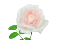 Rose sur le blanc. Photo libre de droits