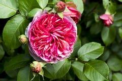 Rose sur le buisson Images stock