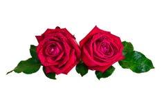 Rose sur le fond blanc Image libre de droits