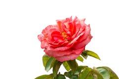 Rose sur le fond blanc photo stock