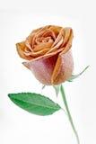 Rose sur le fond blanc Images libres de droits