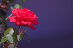 Rose sur le fond bleu profond Image stock