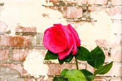 Rose sur le fond de mur de briques Photo libre de droits