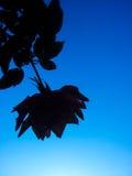 Rose sur le fond du ciel Photos stock