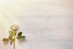 Rose sur le fond en bois blanc Placez une inscription, un texte ou un m Photographie stock
