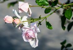 Rose sur le fond gris photographie stock libre de droits