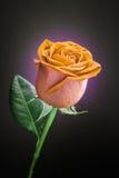 Rose sur le fond noir Images libres de droits
