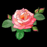 Rose sur le fond noir Illustration Stock