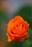 Rose sur le fond vert Photos libres de droits