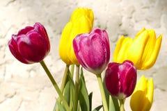 Rosée sur les tulipes fraîches sur le fond de stuc Photographie stock