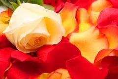 Rose sur pétales. Fond image stock