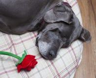 Rose sur son oreiller Image stock