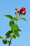 Rose sur un fond du ciel Photo stock