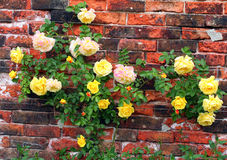 Rose sur un mur. Photo libre de droits