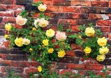 Rose sur un mur. Photo libre de droits