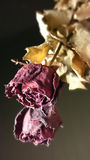 rose suszone Obraz Royalty Free