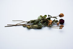 rose suszone Obrazy Stock