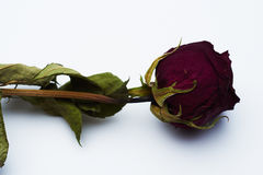 rose suszone Fotografia Royalty Free