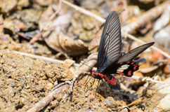 Rose Swallowtail butterfly with red and black eating salt licks. Rose Swallowtail Butterfly (Pachliopta aristolochiae) with red, black and white eating mineral stock photos