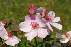 Rose Sweet Pretty Foto de archivo