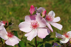 Rose Sweet Pretty Stockfoto
