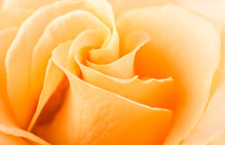 Rose swirls full frame close up Royalty Free Stock Images