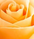 Rose swirls full frame close up Royalty Free Stock Image